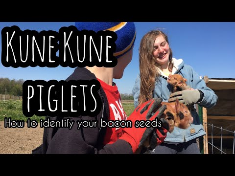 Kune Kune Piglets - BACON SEED ID | Front Porch Catholic