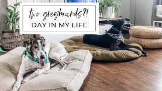 two greyhounds?!   day in my life with a second dog