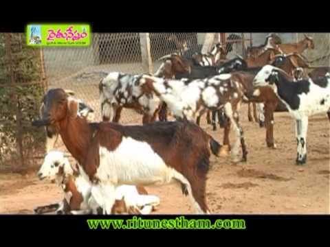 Goat And Sheep Farming Methods and Implementations By Ritunestham