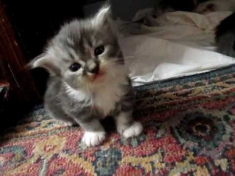 MOST ADORABLE kitten meow EVER - YouTube