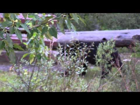 wild-black-bear-in-canada