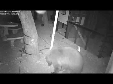 Bear in the Chicken Coop area (electric fence off)