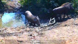 ДИКАЯ ПРИРОДА Африки Бородавочники против антилоп В очередь антилопьи дети в очередь! У водопоя