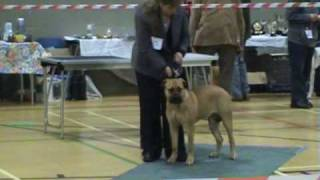 Caleb's Puppies First Show At Just Over 6 Months Bullmastiff