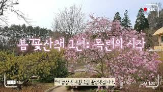 천리포수목원 봄꽃산책 1편: 목련의 시작