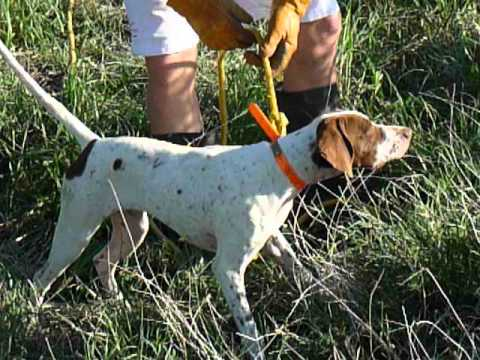 Elhew English Pointer pup 8 Training Sunrise Kennels 520-907-5690