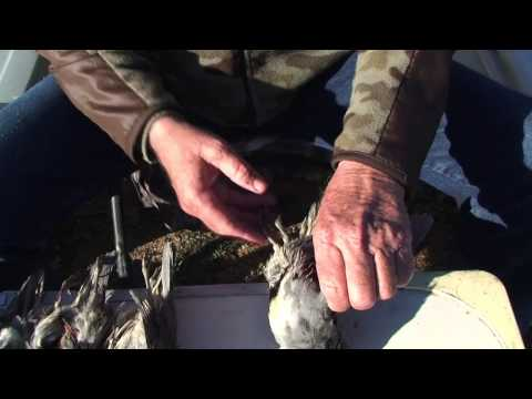 How To Field Dress Quail (skin & Clean) - 3 Techniques