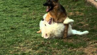 超大型犬グレート・ピレニーズの「クマモン」と大型犬ジャーマン・シェ...