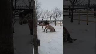 Очень красивые кони кувыркаются в снегу
