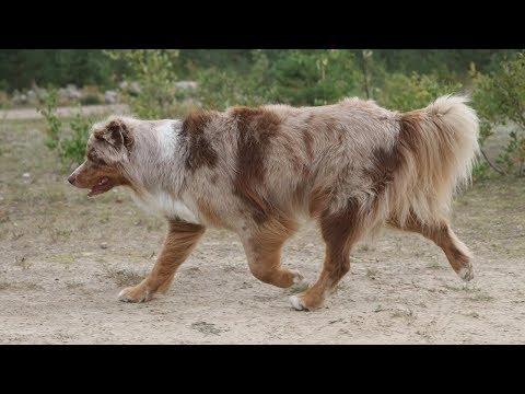 Dog Fitness | Pekka the Australian Shepherd