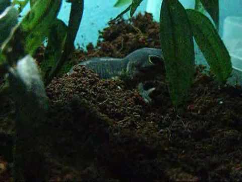 African Clawed Gecko African Clawed Gecko