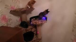 Игривые котята Мейн-Кун