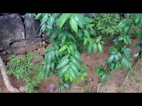 Sauropus Androgynus - Katuk