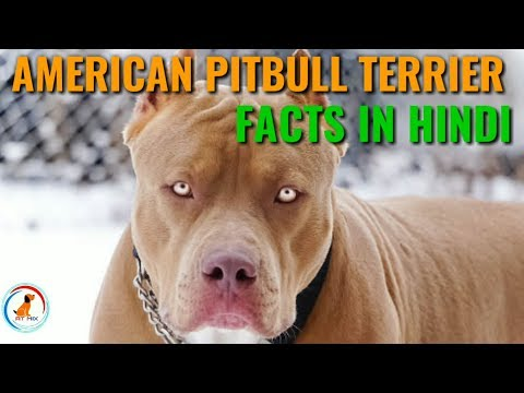 American Pitbull Terrier Facts || Hindi || dog facts || Pitbull terrier Facts