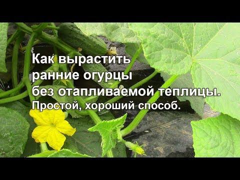 Как вырастить ранние огурцы без отапливаемой теплицы. Простой хороший способ | вырастить | вредители | открытый | весенние | теплица | рассада | посадки | посадка | огурцов | семена