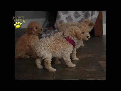 Poodle Mini Puppies