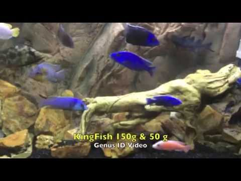 Best African Cichlid Genus/Species Identification Video I've Seen