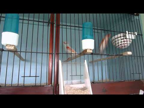 Red Clear Mosaic Breeding Pairs 2014 Cages 1 to 8