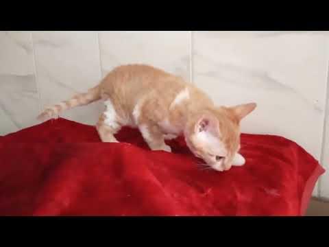 kitten Devon Rex first time at home