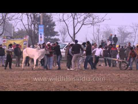 People forcing a bull for cart race - Kila Raipur Sports Festival