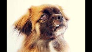 #214 TIBETAN SPANIEL    Which Dog Should I Get? Dog Breed Selector