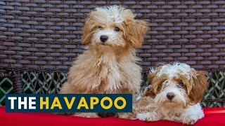 Havapoo: Is The Havanese Poodle Mix The Smartest Dog You Will Ever Meet?