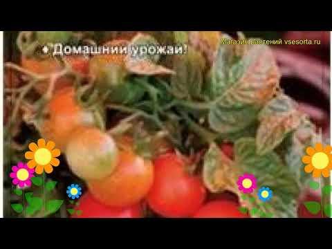 Томат обыкновенный Григорашик F1. Краткий обзор, описание характеристик, где купить семена