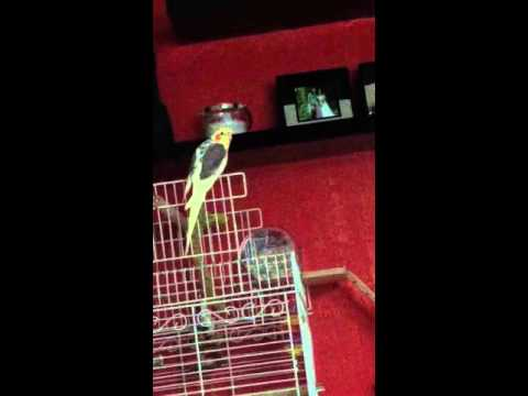 cockatiel putting the world to rights then finishing off with a song