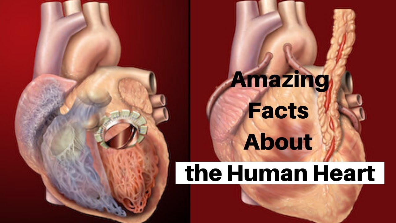 Facts About The Human Heart