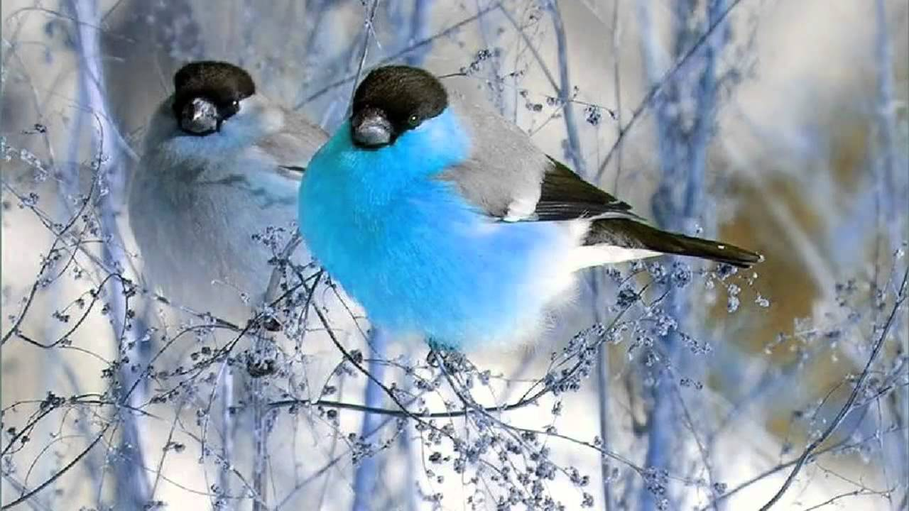 birds nature bird winter singing sounds pretty music relaxation meditation snow chirping animal happy hour animals farmhouse country aves songbirds