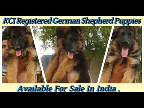 German Shepherd Puppies For Sale | Dog Price List | Top Quality German Shepherd Puppy