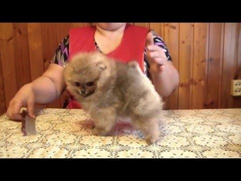 Бу (Boo) - собака, покорившая весь мир » Блог позитива