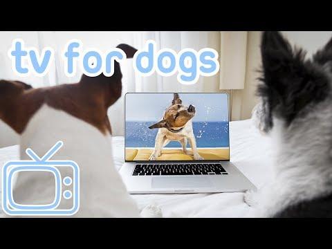 TV for Spaniels! TV for All Spaniel Dog Breeds! Springer, Cocker, Water, King Charles Spaniel Dogs!