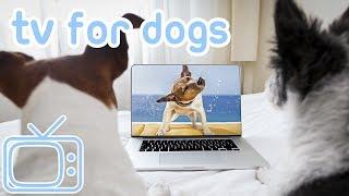 TV for Spaniels! TV for All Spaniel Dog Breeds! Springer, Cocker, W...