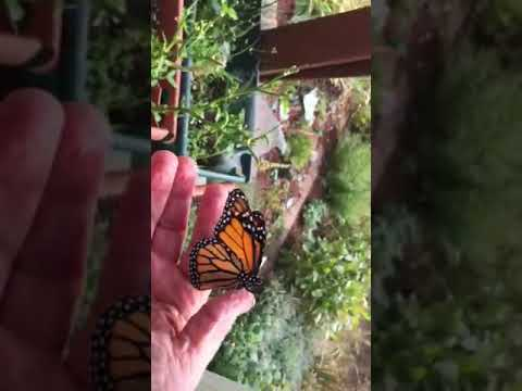 Last Monarch Of Season >> Last Monarch Of My Season Youtube