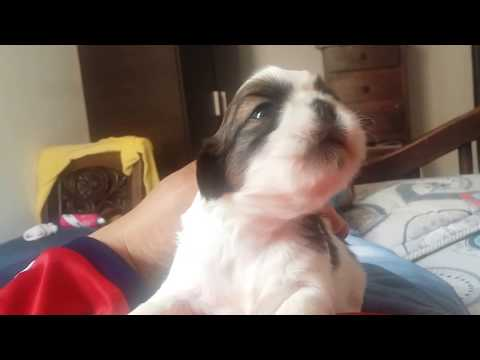 Bebé cachorro llorando