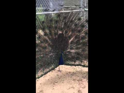 Trevor interviews Mr Peacock