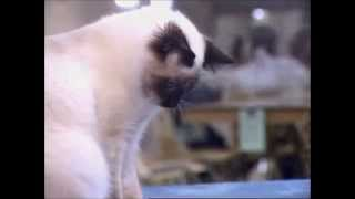 The Birman Cat|Cutest Cat Breeds|Birman Cat Breed Profile