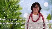 Пихта корейская – это поистине аристократическое, стройное дерево. Обладает особой декоративностью кроны. Идеальный солитер и эффектный участник смешанных посадок. Купить пихту корейскую можно на нашем сайте по доступной цене.