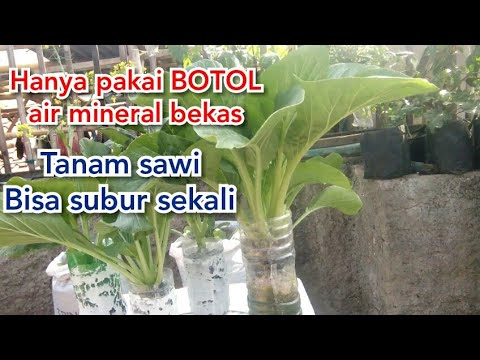 Tutorial Komplit Menanam Sawi Pakai Botol Bekas Air Mineral