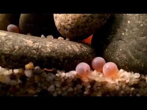 Salmon eggs develop in classroom aquarium