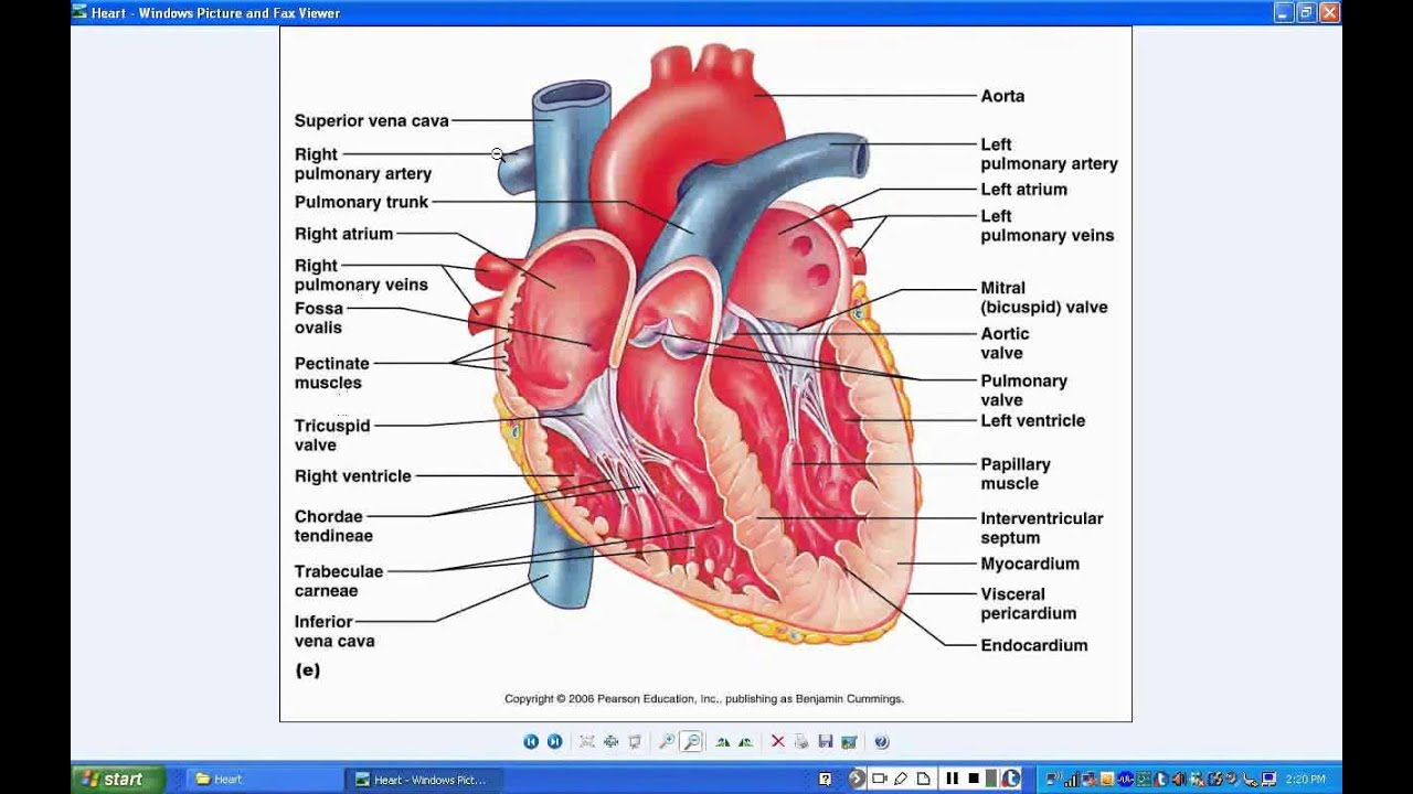 Lab 3 - Heart Lab 1 - Review of Blood flow through Heart - YouTube