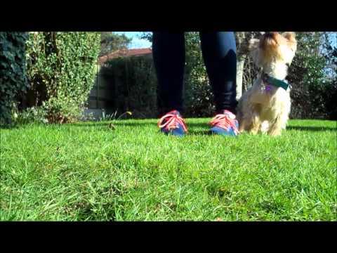 Yorkie- Dog Tricks