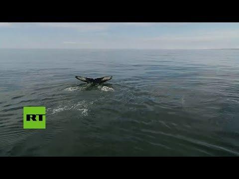 Un dron capta una inusual reunión de ballenas jorobadas en Rusia