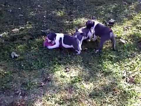 Boston Terrier, Blue Splash And Blue