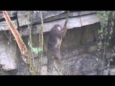 Wild monkeys spotted foraging for food in SW China