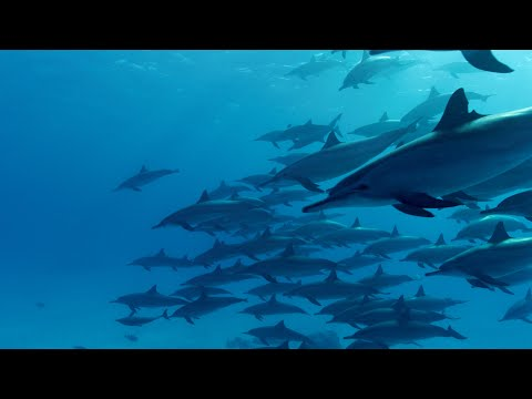 Incredible Underwater Spinner Dolphins Video / Relaxing Music