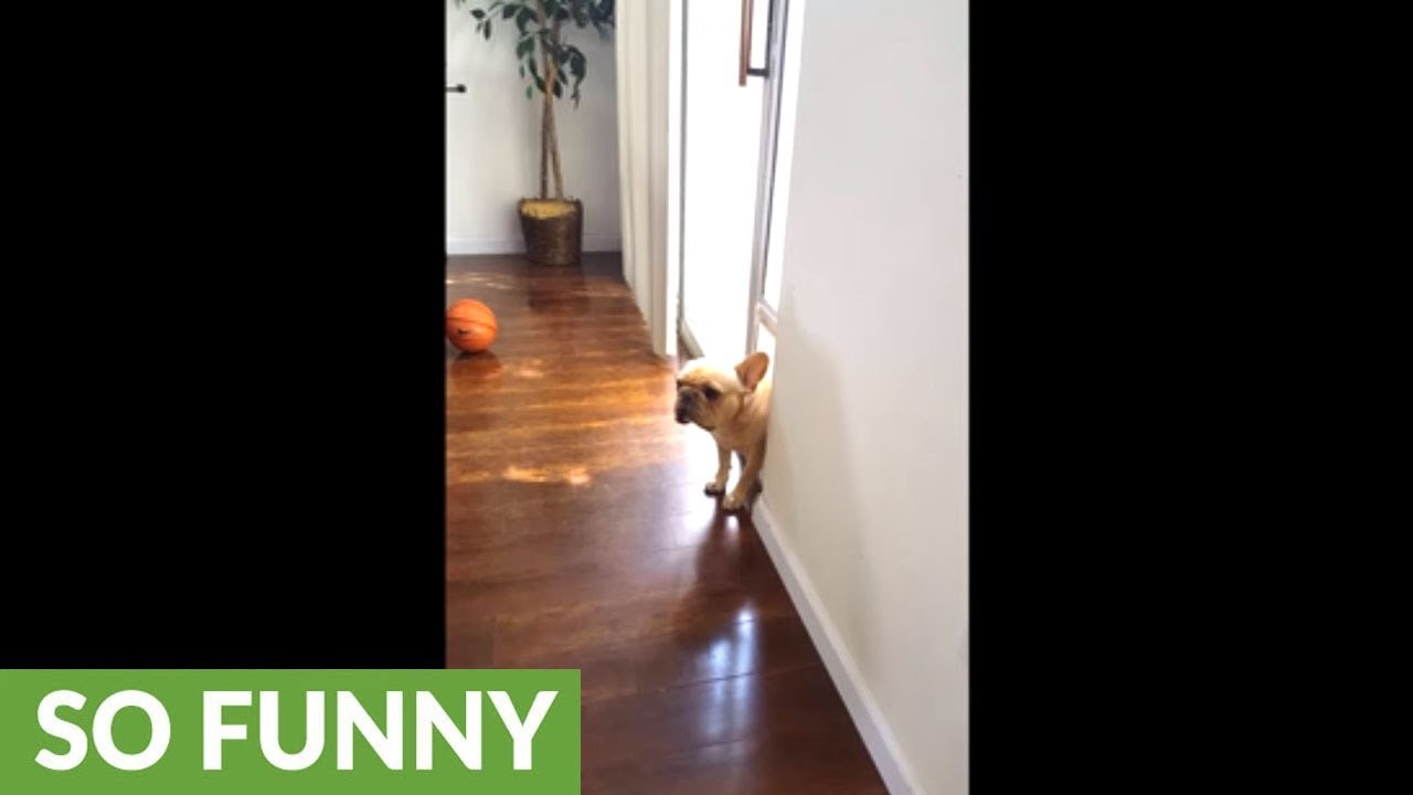french-bulldog-can-t-hide-his-guilt