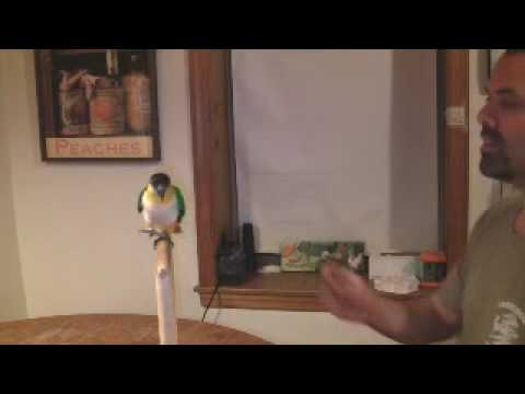 James and the amazing Pepper: Black headed Caique