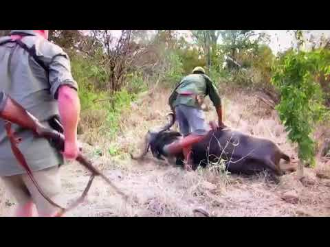 AFRICA Buffalo Hunt Almost Gone Wrong …